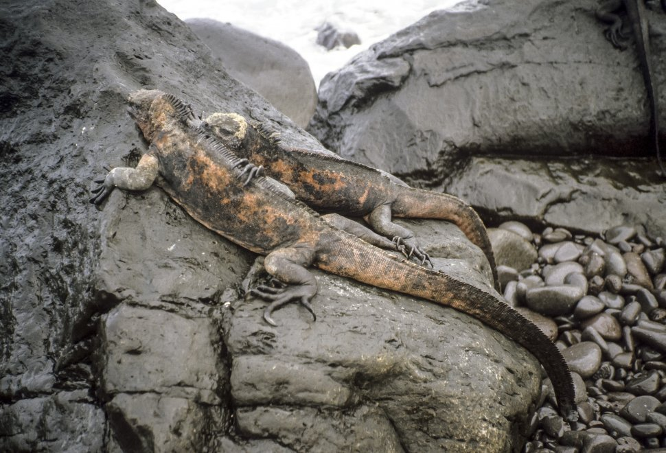 Free image of Galapagos Land Iguana Conolophus subcristatus laying next to each other on black rocks and mud on the beach, Galapagos Islands, Ecuador