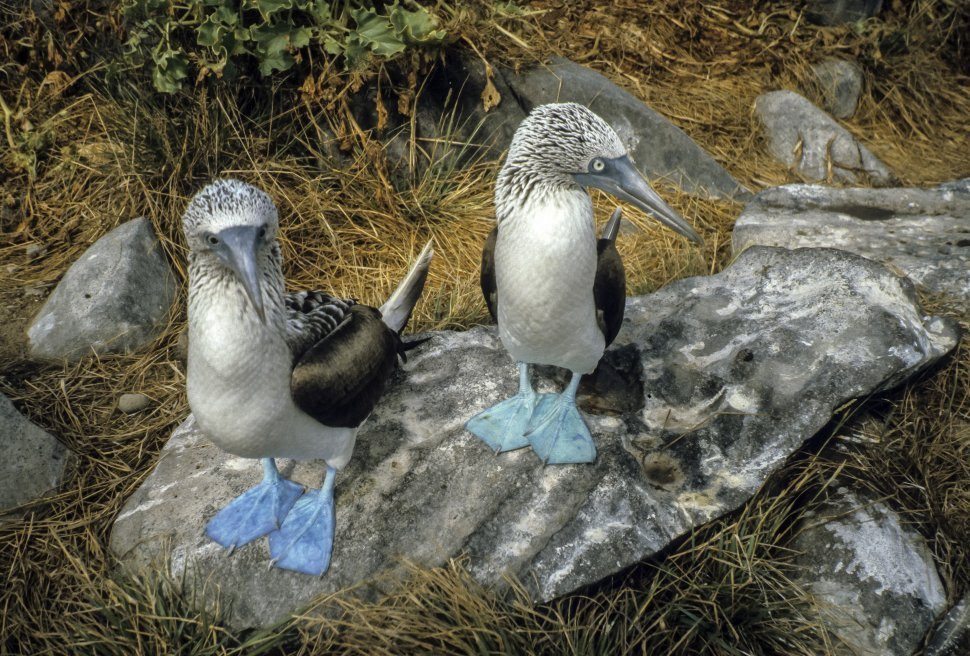 Free image of Blue Footed Bubi Sula nebouxii two standing together on a rock, Galapagos Islands, Ecuador