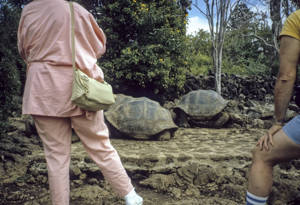 Free image of Galapagos Tortoise Geochelone nigra crawling slowly along the ground in front of tourists, Galapagos Islands, Ecuador