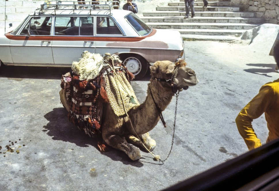 Free image of Camel Camelus bactrianus sitting in front of a car on the street.