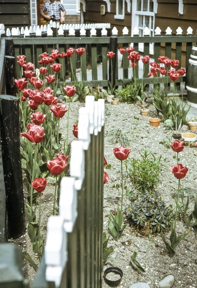 Free image of Man photographing tulips growing behind a picket fence and gate.
