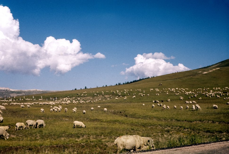 Free image of Flock of sheep grazing in a hillside pasture.