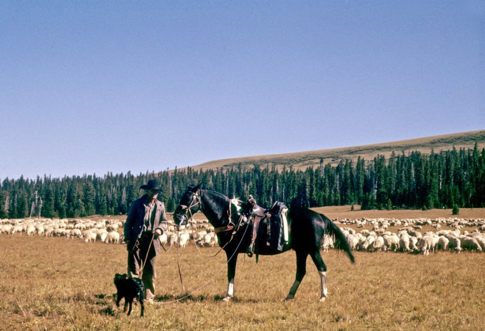 Free image of Rancher posing with his horse, dog, and flock of sheep grazing in a meadow, USA
