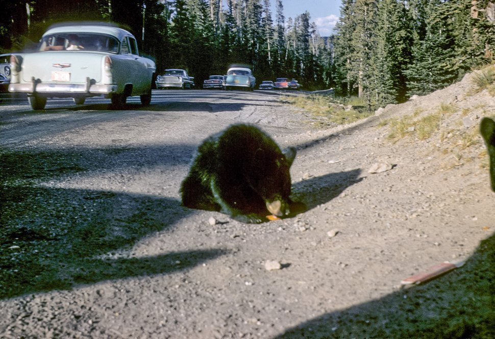 Free image of Black Bear Ursus americanus eating food on the side of the road with traffic driving by.