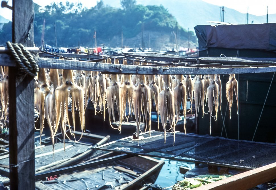 Free image of Squid Architeuthis dux hanging from fishing hooks, Brazil