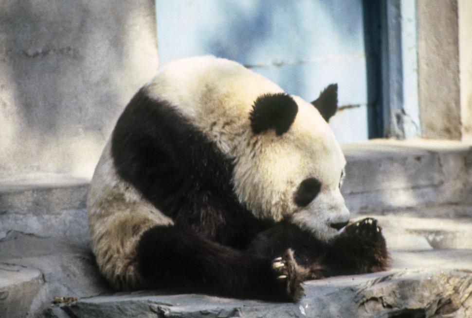 Free image of Giant Panda Bear Ailuropoda Melanoleuca sitting in an enclosure, Asia