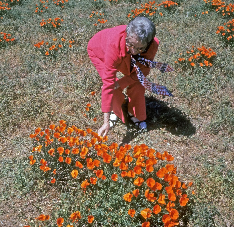 Free image of Woman picking California Poppies, California, USA