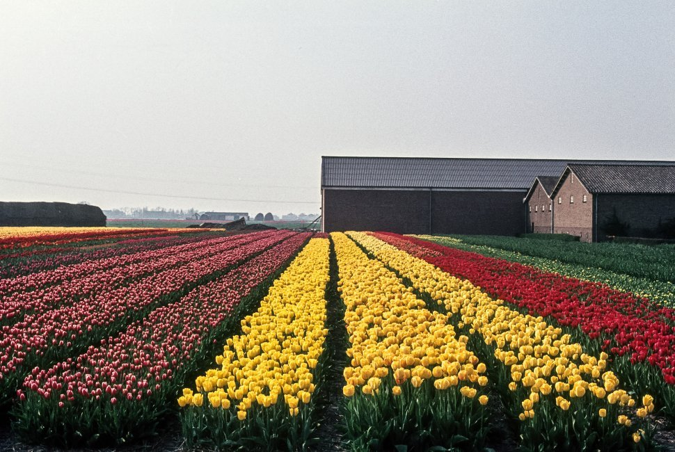 Free image of Keukenhof Gardens rows of tulips, Amsterdam