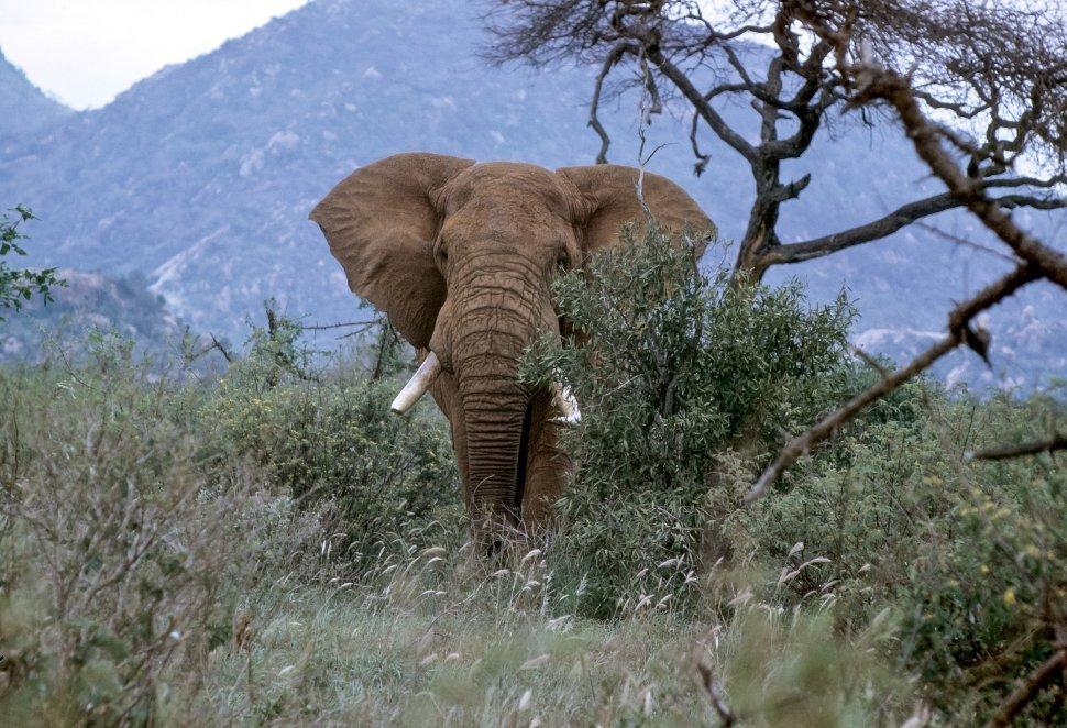 Free image of African Elephant Loxodonta africana moving through the brush, Africa