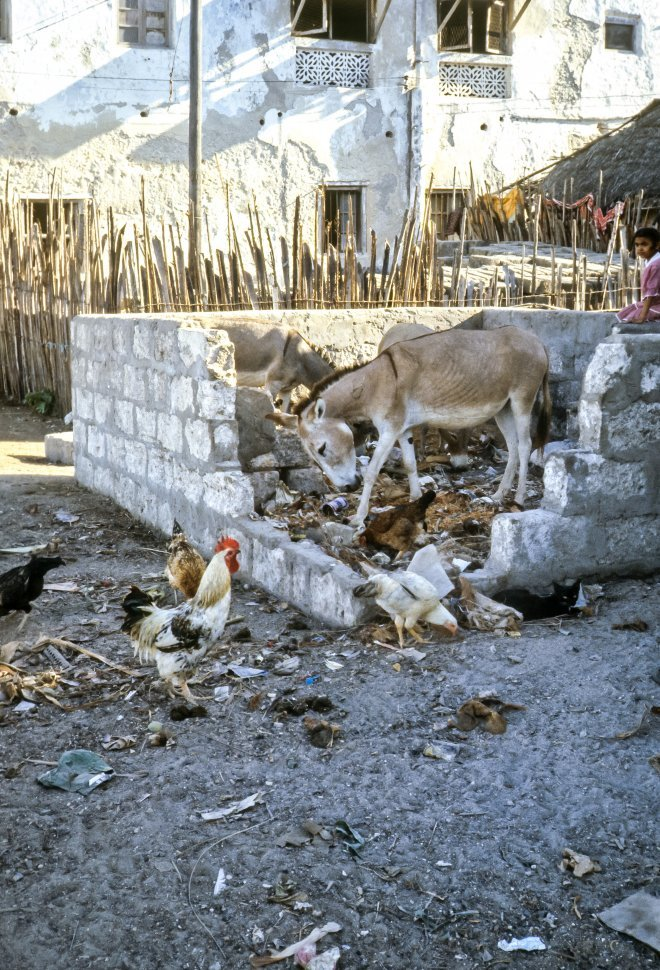 Free image of Common Donkey Equus africanus asinus and chickens waeting garbage, Africa