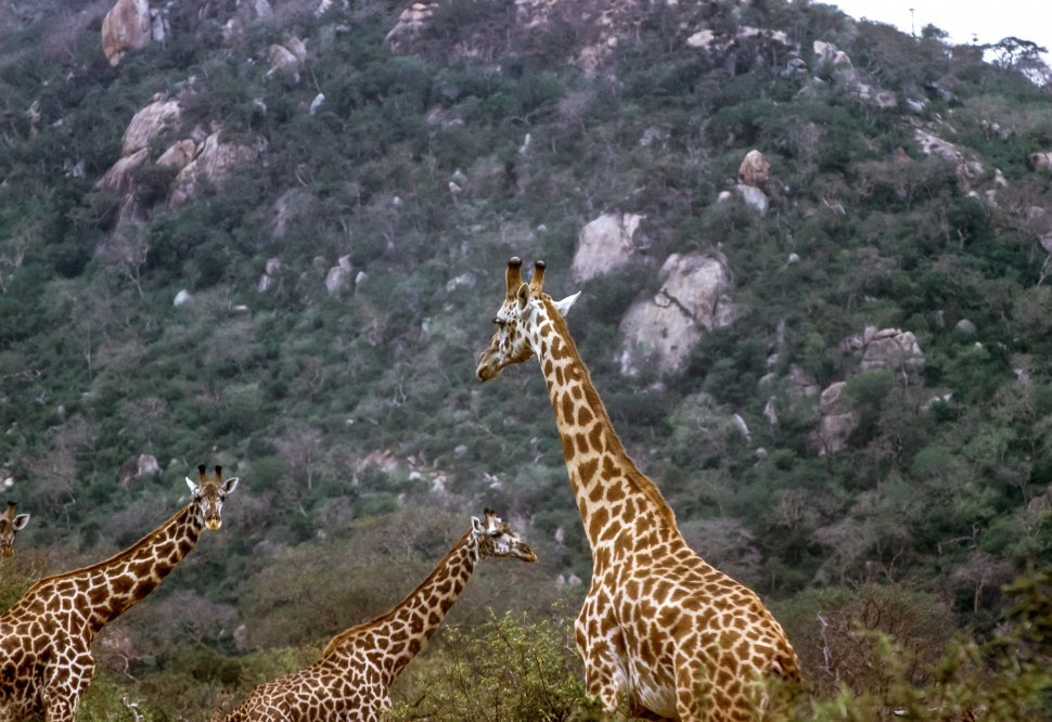 Free image of African Giraffe Giraffa camelopardalis three moving through the brush, Africa