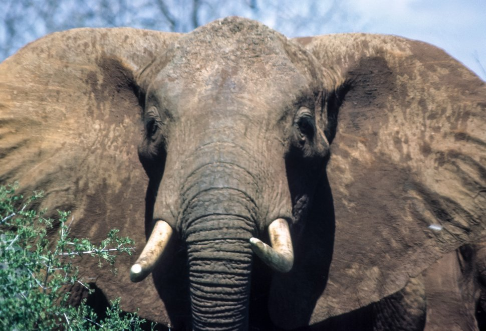 Free image of African Elephant Loxodonta africana portrait of head and tusks, Africa