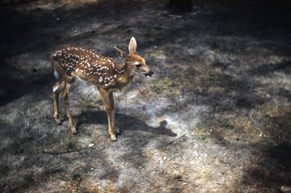 Free image of Close up of a baby deer, or fawn, crossing a road.