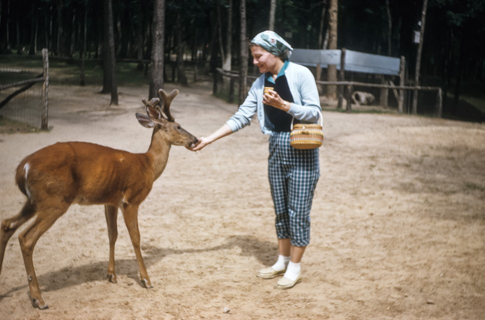 Free image of Deer eating from a woman s hand, USA