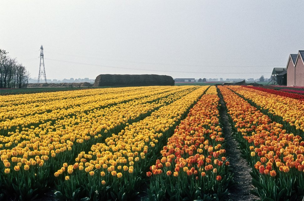 Free image of Large tulip farm with rows of varies colored flowers, Holland