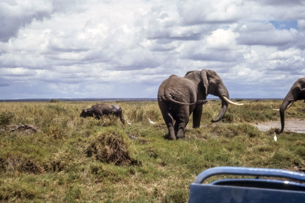 Free image of Two African Elephants Loxodanta africana one African Buffalo Syncerus caffer and three White Egret Ardea Alba stand together in the bush, Africa
