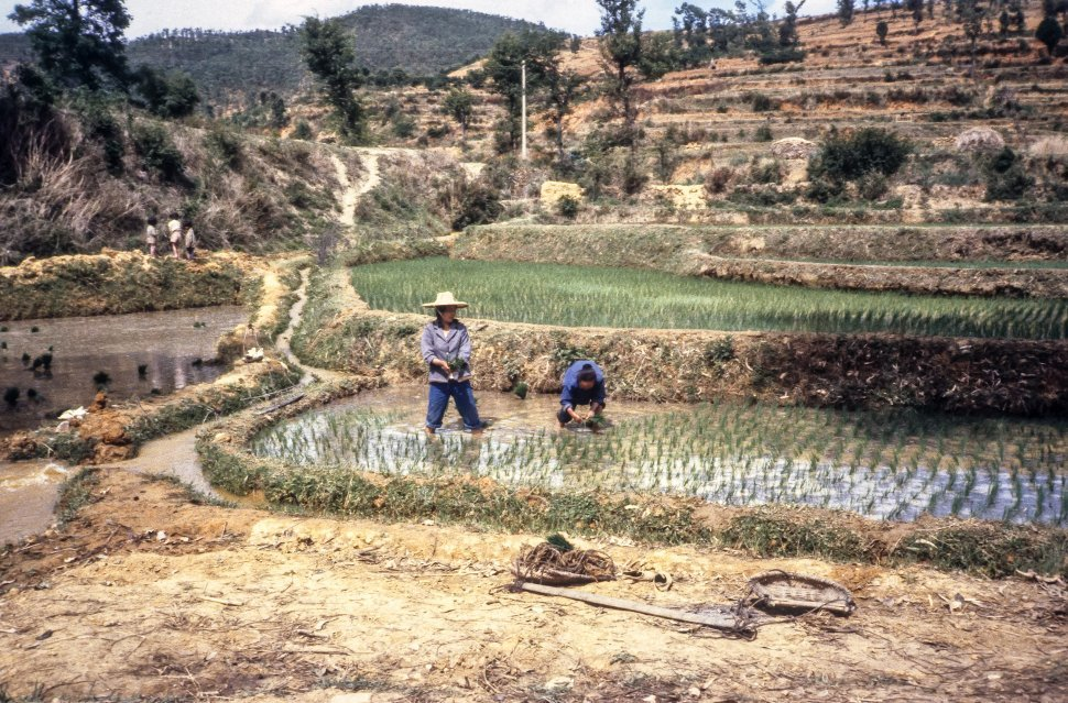 Free image of Rice farmers working in the fields, China