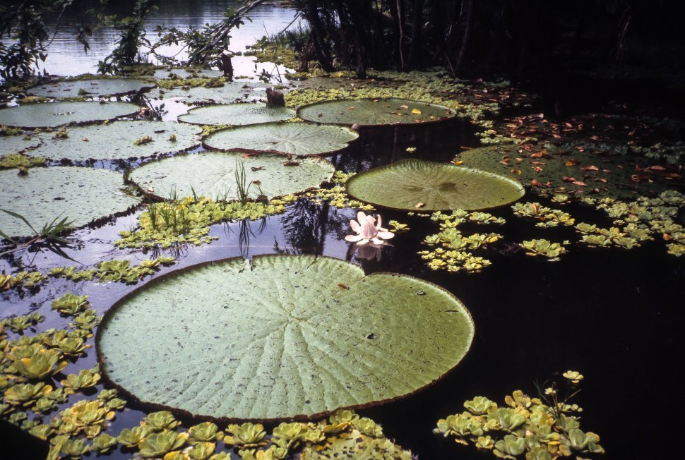 Free image of Giant lily pad floating in a pool.