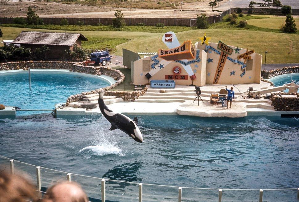 Free image of Shamu and trainer performing Shamu Goes Hollywood at Sea World, USA