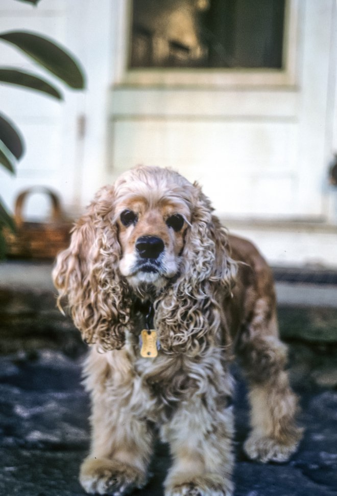 Free image of Close up portrait of a Cocker Spaniel Canis familiaris.