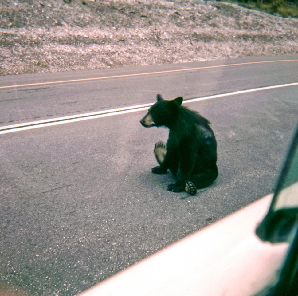 Free image of Black Bear Ursus americanus teenager sitting in the middle of the road, USA