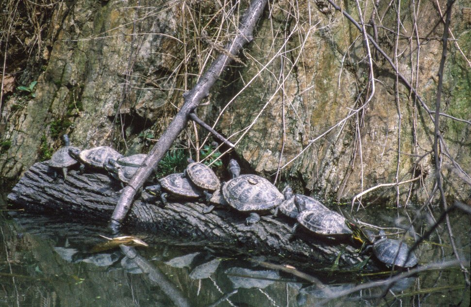 Free image of Turtles line up at Central Park in New York City