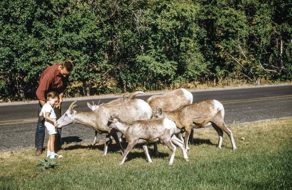 Free image of Father and Son Feeding Herd Of Goats at Roadside