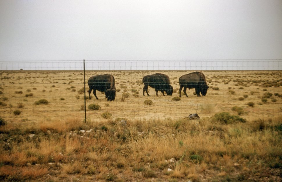 Free image of Three Bison grazing in the meadow