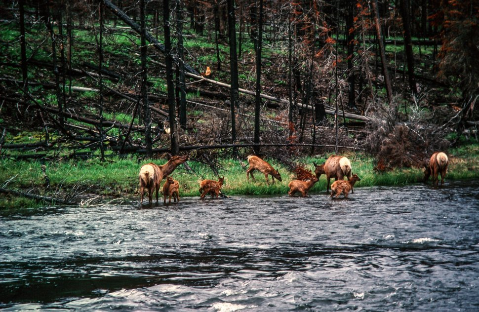 Free image of Herd of Deer drinking from the river after forest fire at Yellowstone National Park in Wyoming