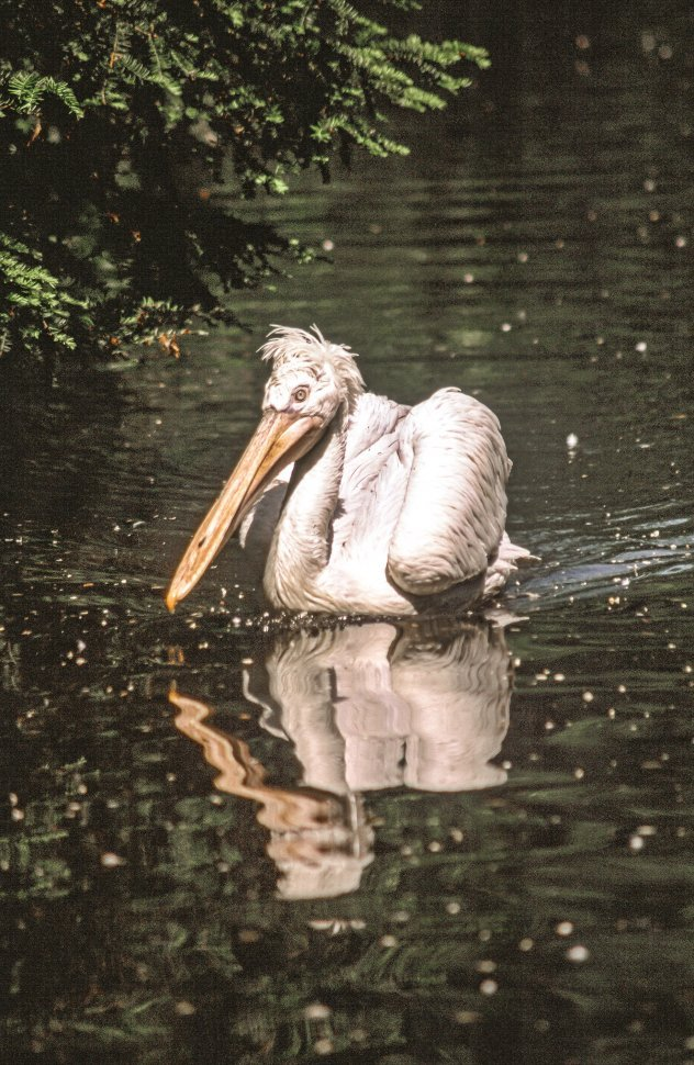 Free image of Pelican wades water at Bronx Zoo, New York City