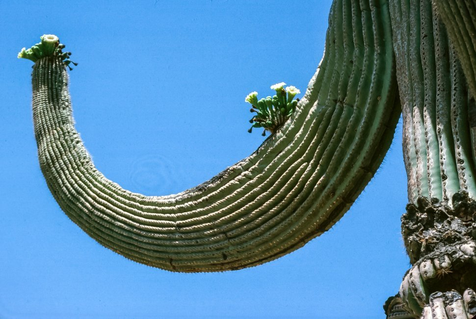 Free image of White flowers blooming on saguaro cactus as clear blue sky in the background in Tucson, Arizona