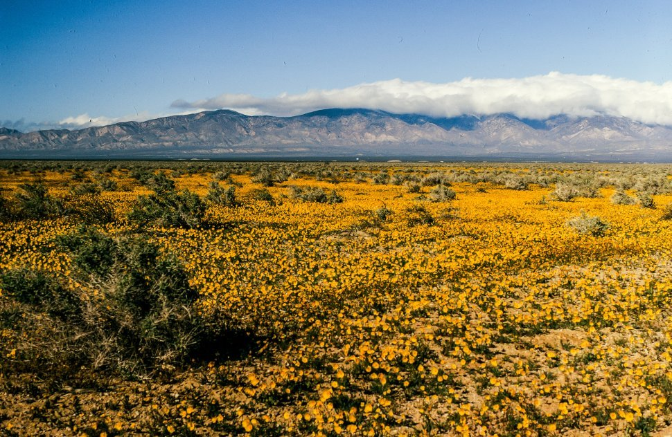 Free image of Yellow flowers blooming as mountains in the background at Yosemite National Park