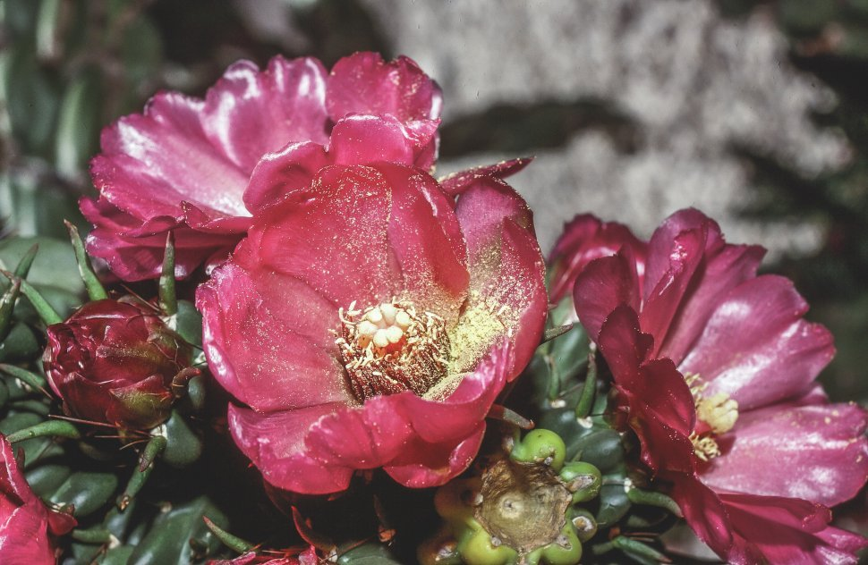 Free image of Blooming of Cactus Flowers