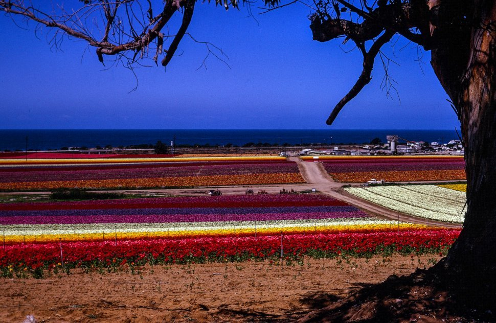Free image of Colorful Flower Farm in San Diego, California