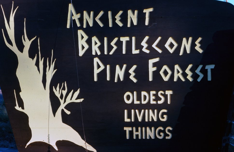 Free image of Poster of Ancient Bristlecone Oldest Living Things with bristlecone pine tree shape