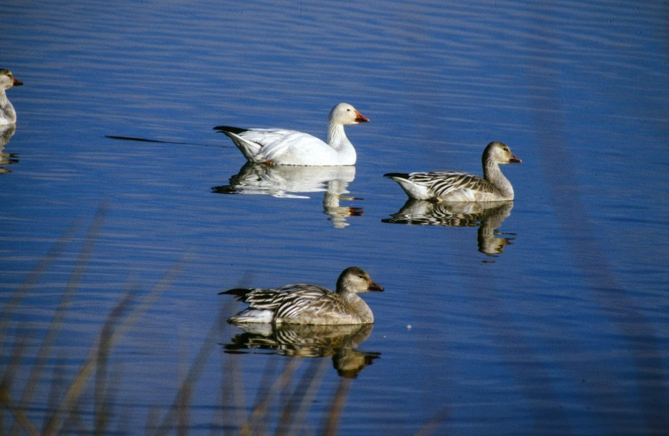 Free image of Three Ducks in the lake