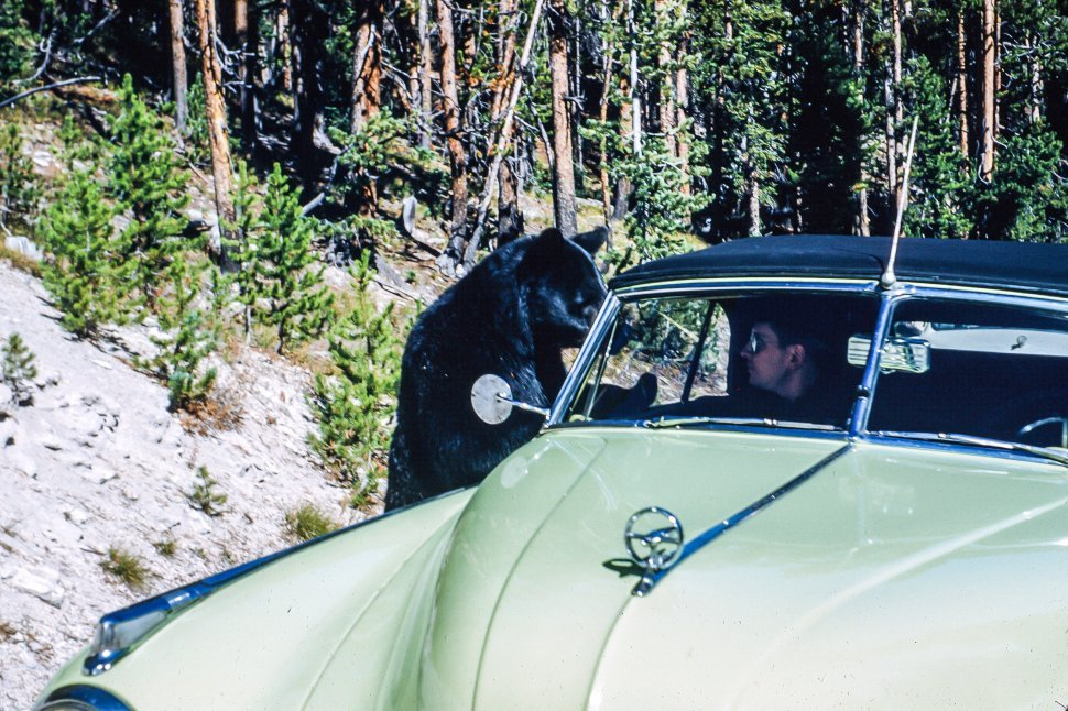 Free image of Bear looking into closed front window of car as it makes an eye contact with a driver
