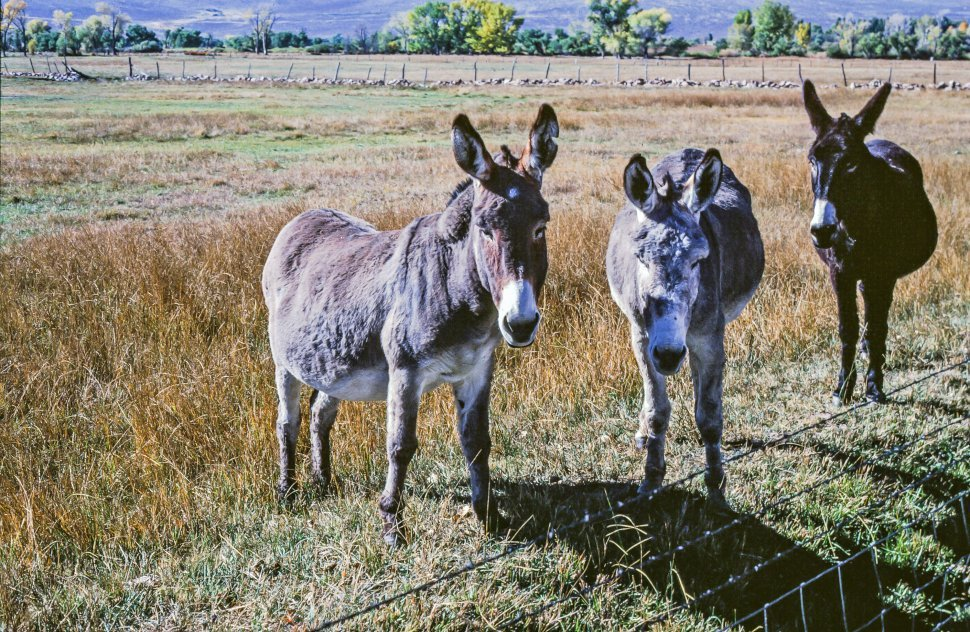 Free image of Three Donkeys standing in the meadow