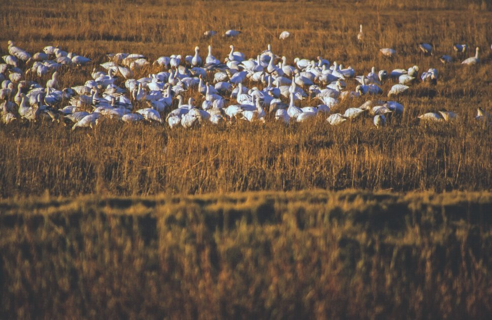 Free image of A flock of white geese on the field