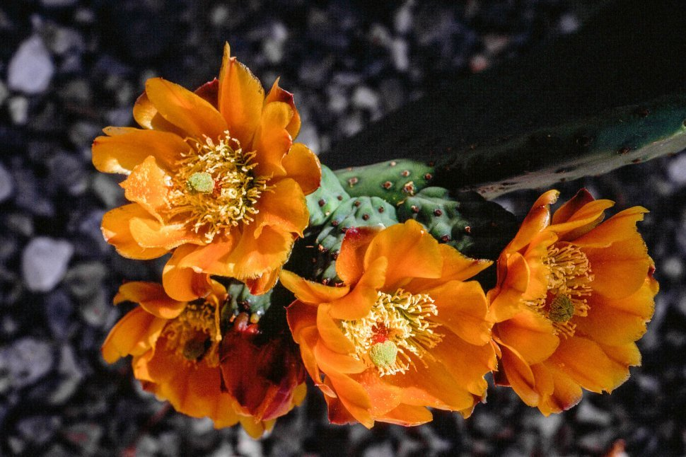 Free image of Close up of Cactus Flowers