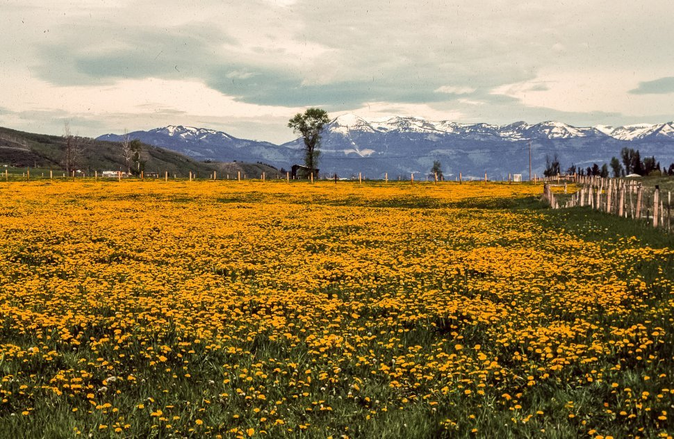 Free image of Yellow flowers field with mountain and sky background